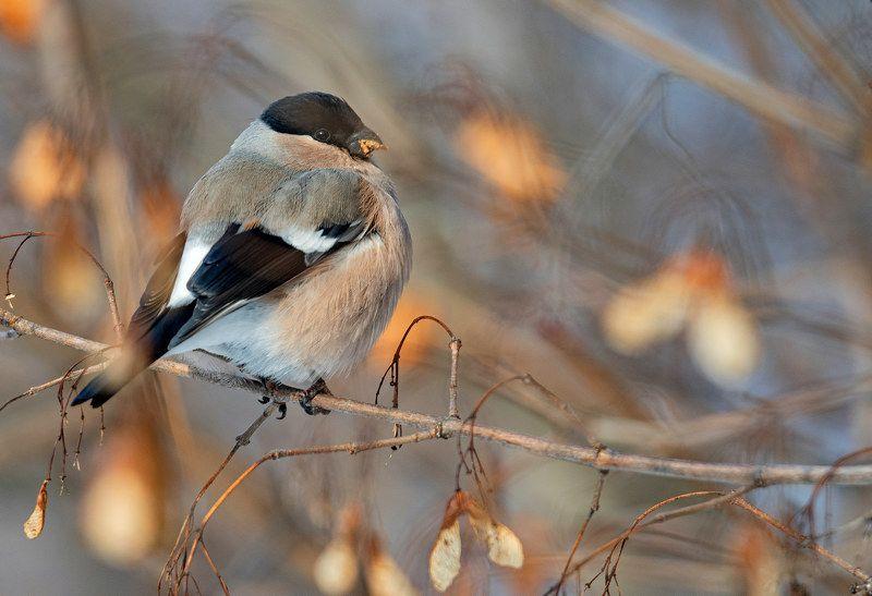 птица снегирь зима Барыняphoto preview