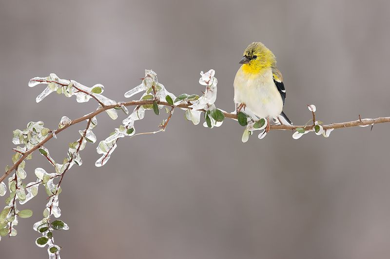 american goldfinch, американский чиж, чиж American Goldfinch - Американский чижphoto preview