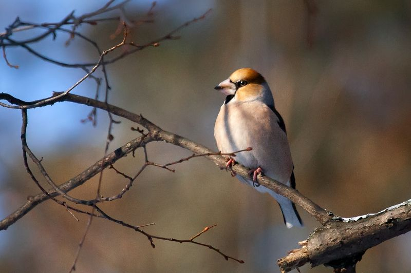 дубонос, hawfinch, ***photo preview