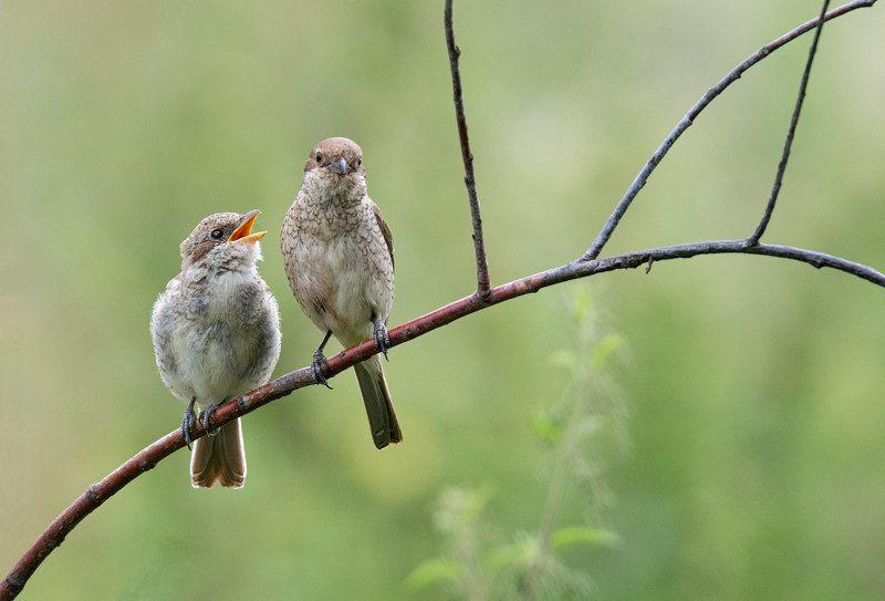 птица сорокопут жулан Расскажи мне мама об отце...photo preview