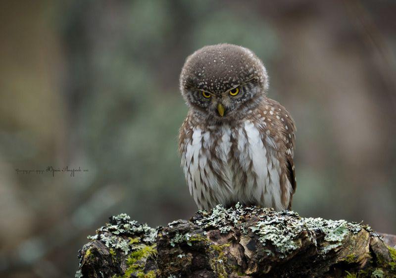 воробьиный сыч, сенчитский бор, сыч-воробей, сова, лес, сосна Я не диктатор, у меня просто сердитое лицо.photo preview