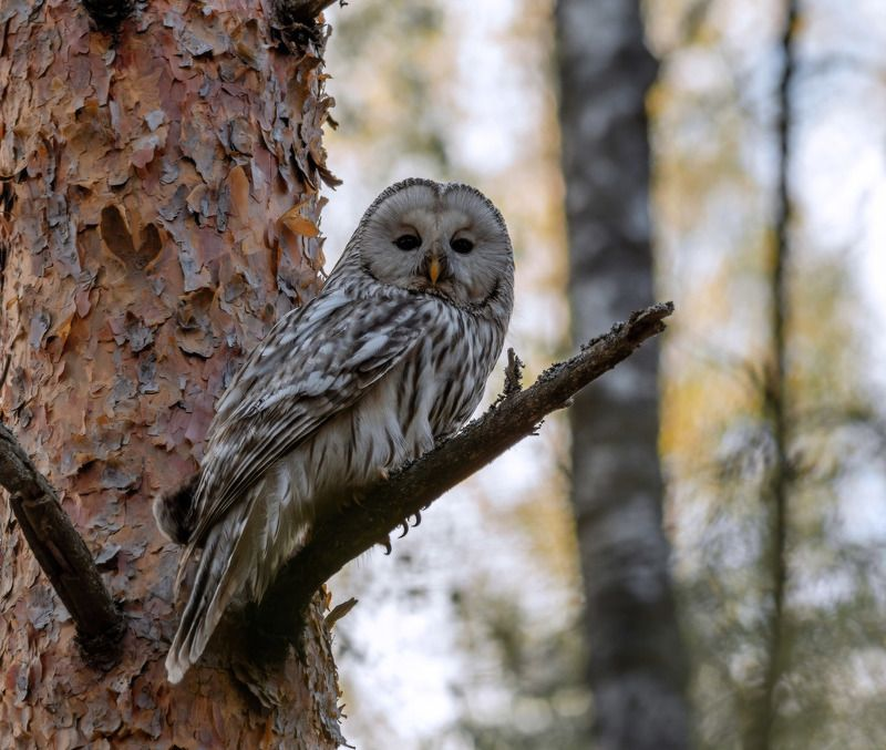длиннохвостая неясыть, ural owl, сова, Длиннохвостая неясытьphoto preview