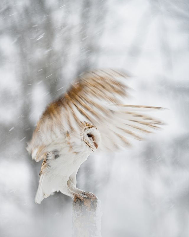 barn owl, bird, owl, snowfall, winter, wings, fly Barn owl in snowfallphoto preview