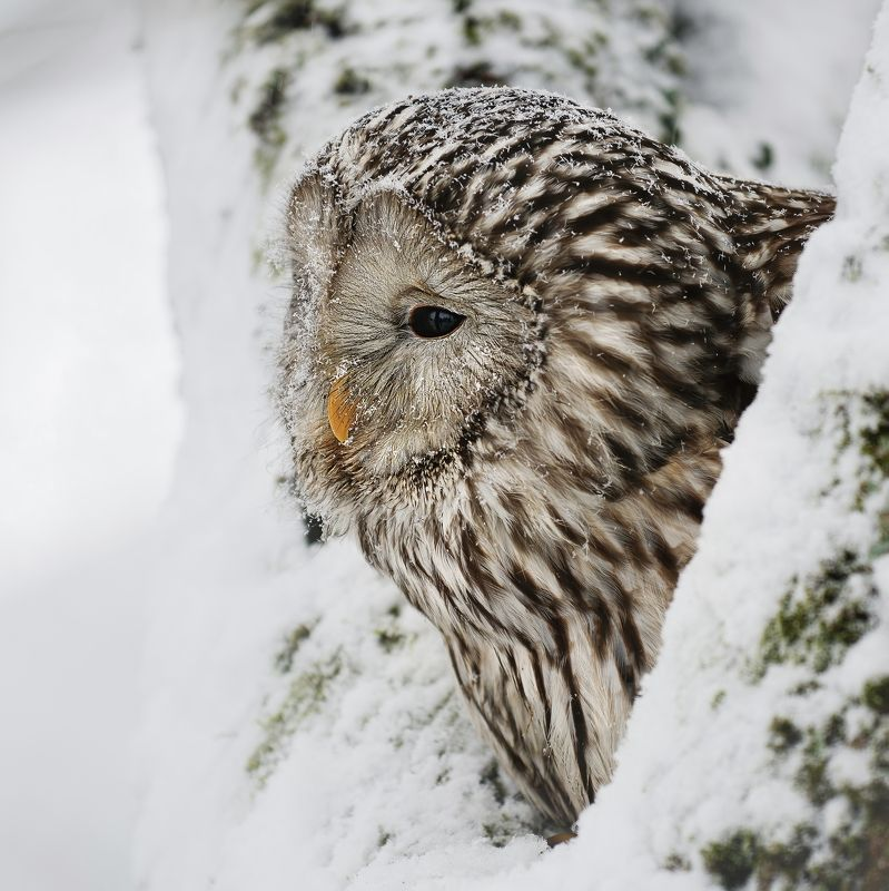 owl, winter, snow, tree Owl in winter timephoto preview