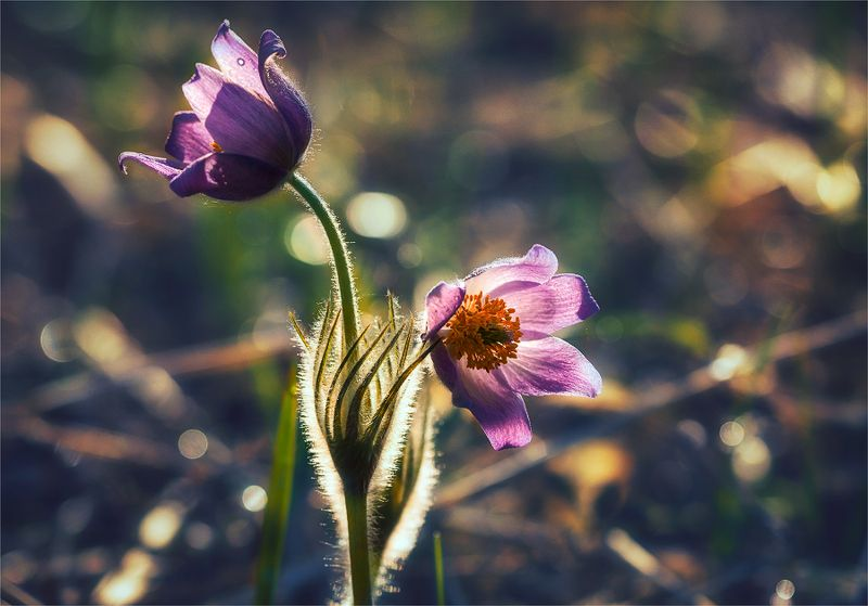 nature, природа, весна, цветы, сон-трава сон-траваphoto preview