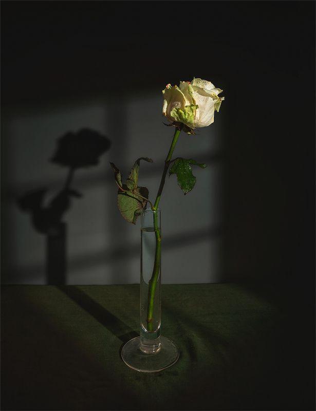 still life, натюрморт,    винтаж,    цветы,  роза, минимализм, окно, тень натюрморт с розойphoto preview