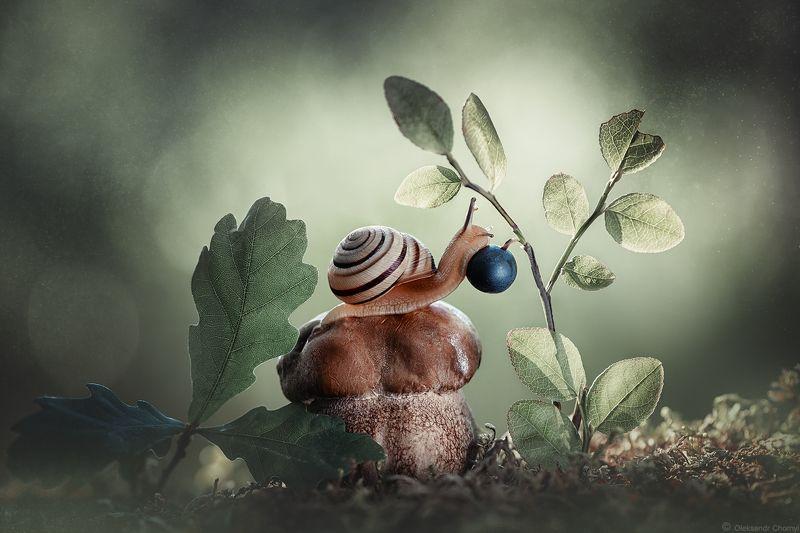 украина, коростышев, лес, лето, сказка, волшебство, гармония, природа, макро, макро мир, черника, ягодка, улитка, грибочек, мох, зеленый фон, боке, фотограф чорный, Последняя самая сладкаяphoto preview