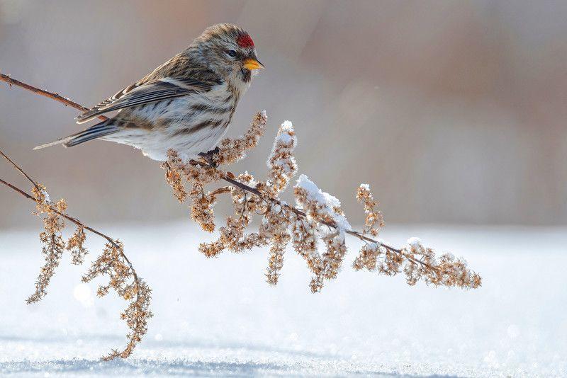 птица чечётка Чечётка и зимаphoto preview