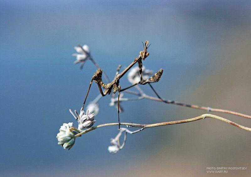 богомол, крым, животное, насекомое, глаза, растение, поле, лето Богумолецphoto preview