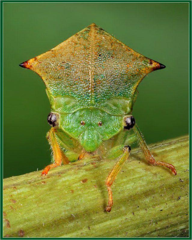 макро, цикада, stictocephalus, bisonia Портрет цикадыphoto preview