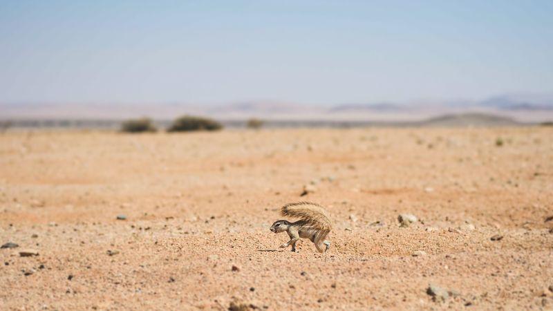 Пустынная белка.
