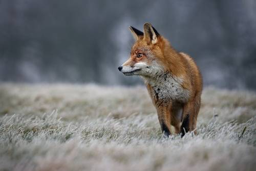 Frosty morning with redfox
