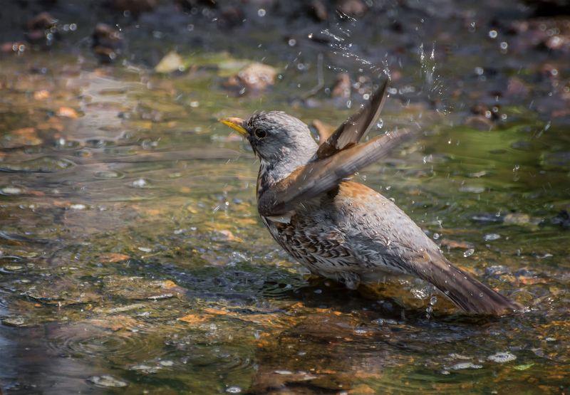 птица, дрозд рябинник, водные процедуры, водные процедуры..photo preview