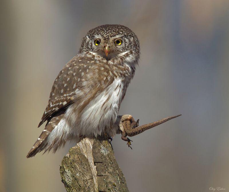 птицы, воробьиный сычик Суровый хищникphoto preview