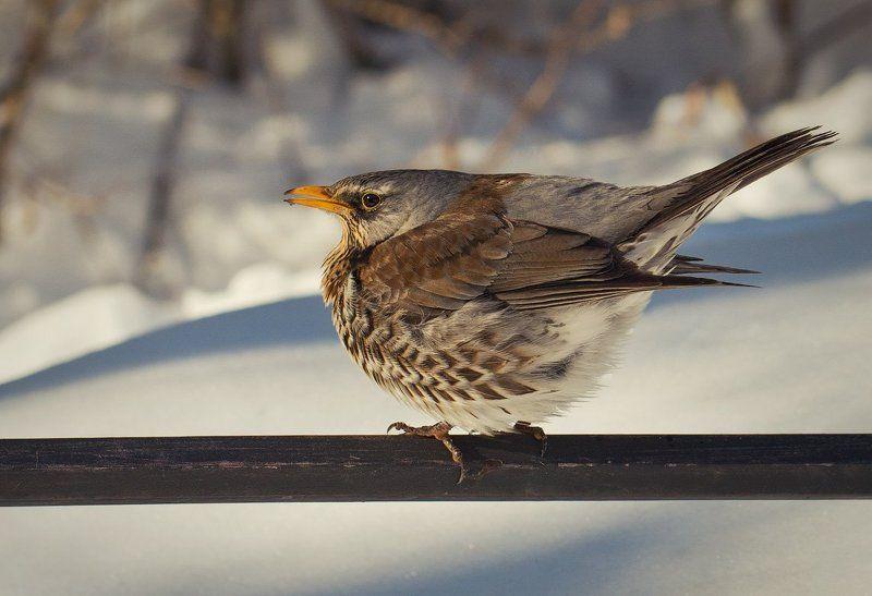 Дрозд, Зима, Птица Холодно...photo preview