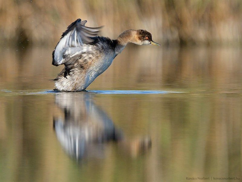 Black-necked grebephoto preview