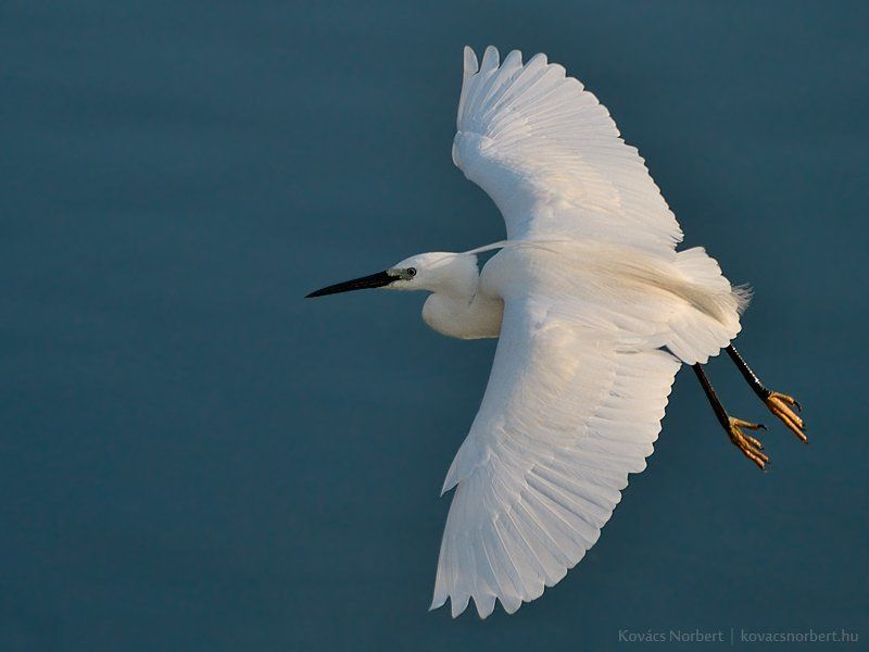 Little Egretphoto preview