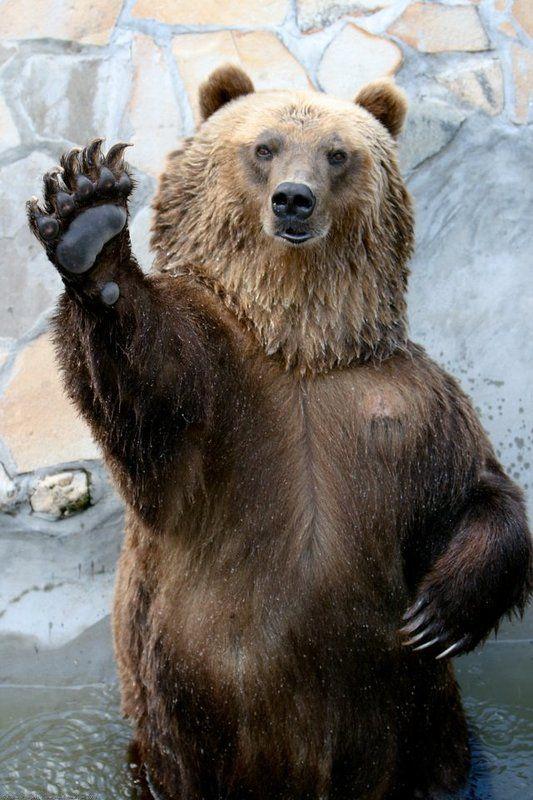 медведь, животные, юмор Превед!photo preview