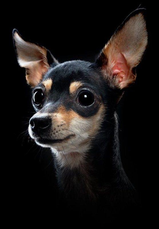собака, уши, вгляд Челсиphoto preview