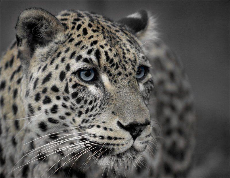 леопард чуткийphoto preview