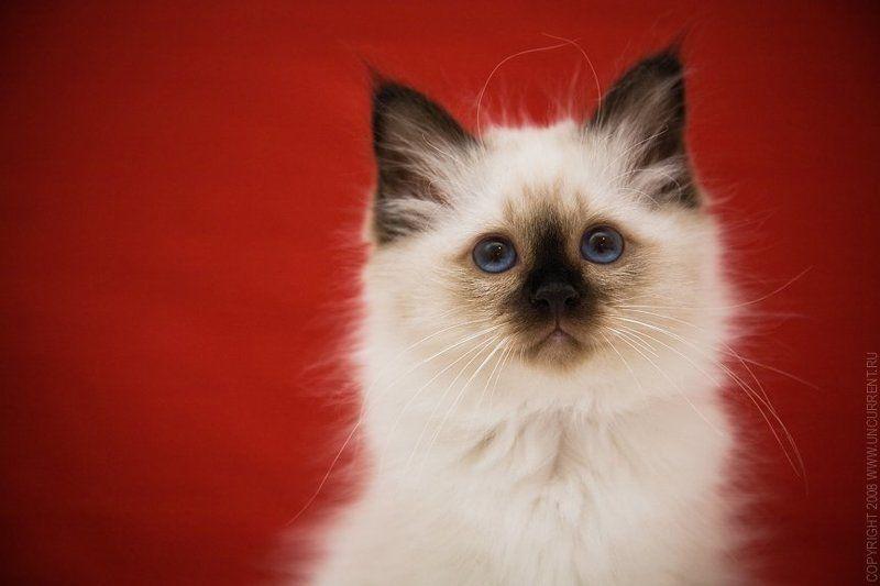 cat, klavdia, sacred birman RED&WHITEphoto preview