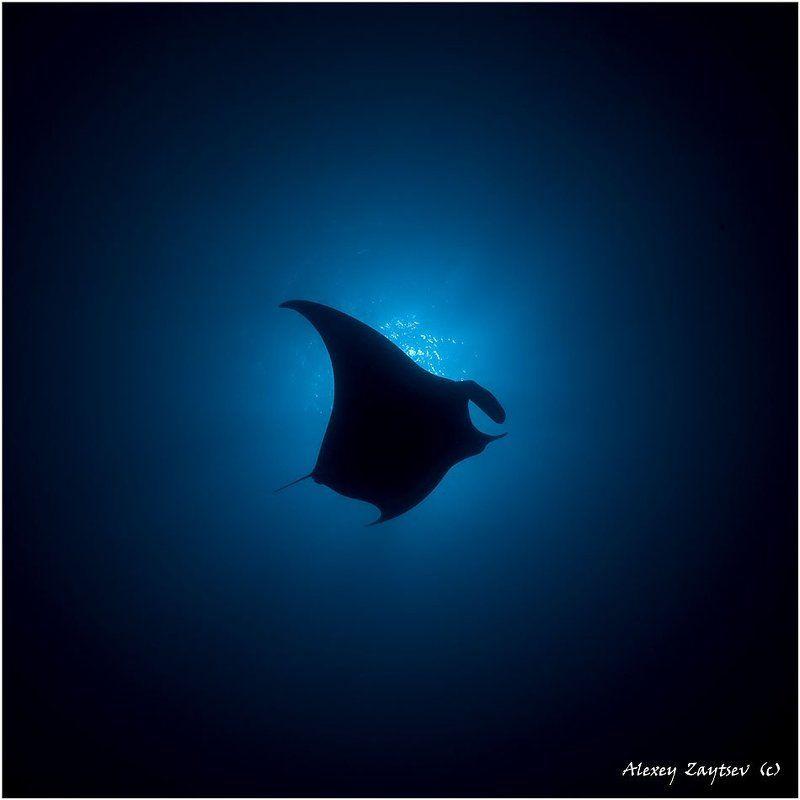 обучение, подводной, фотографии, манта, галапагосы, фото, алексея, зайцева Манта в прицелеphoto preview