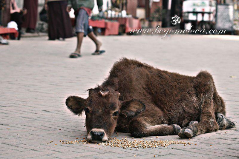 телёнок В следующей жизни хочу быть собачкой .....photo preview