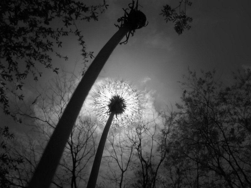 небо, солнце, ч/б, одуванчик одуванчикиphoto preview