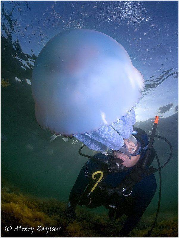 зайцев, обучение, подводной, фотографии, черное, море Как тут плавают медузы? В панталонах или без? (Сказ про Фендота нырца...)photo preview