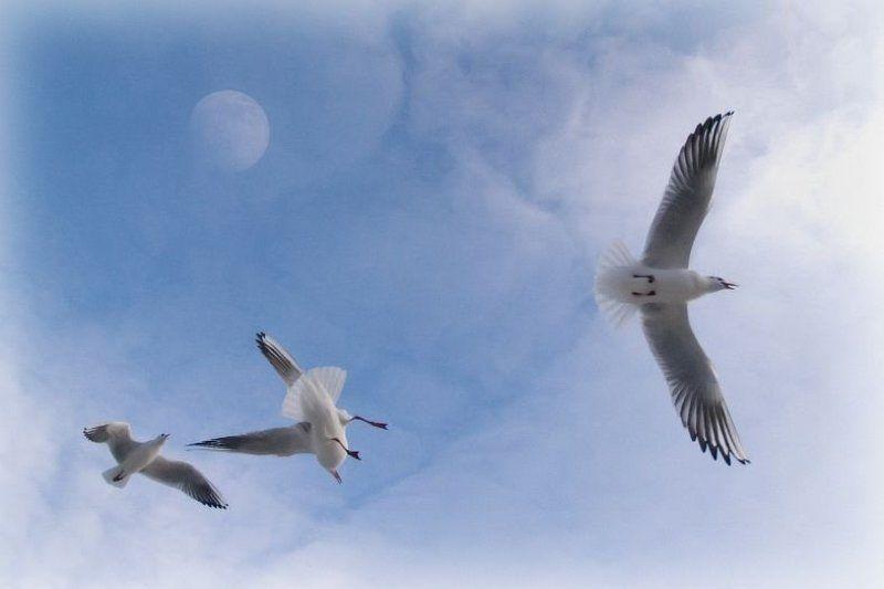 чайки, небо, луна bluephoto preview