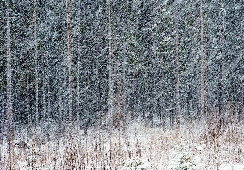 россия, карелия, природа, лес, зима, январь, снег, снегопад, деревья, ствол, линии, геометрия, russia, karelia, nature, forest, winter, january, snow, snow, trees, trunk, lines, geometry Наискосокphoto preview