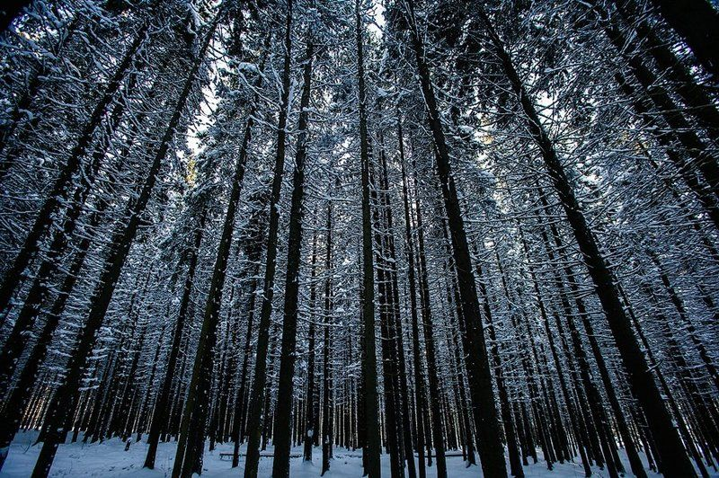 лес, ёлка, ель, карелия, зима, деревья, ритм, ствол, россия, природа, fir, tree, tree, forest, winter, nature, karelia, russia Еловый ритмphoto preview