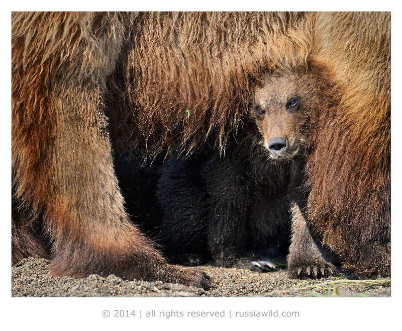 Дикая природа россии, Медведица, Медвежонок Ни капельки не страшно!photo preview