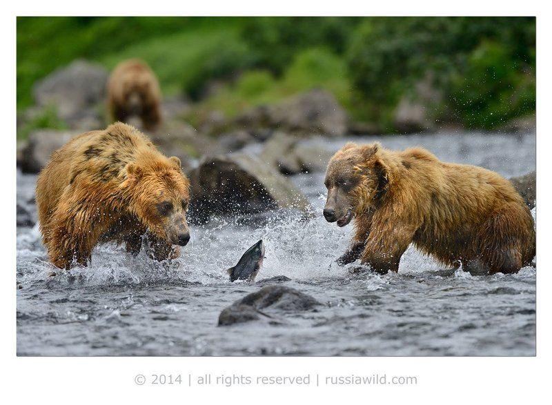 Дикая природа россии, Камбальная река, Медведи, Нерка Ребята, где тут вечеринка?photo preview