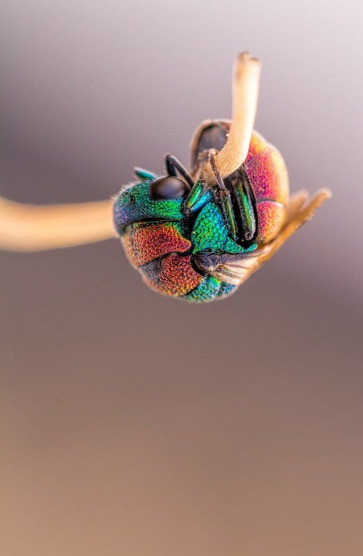 canon, 100mm l is f2.8, macro, hymenoptera, wasps, solitary wasps, 5dmkii, 600d, Hymenoptera 2013photo preview