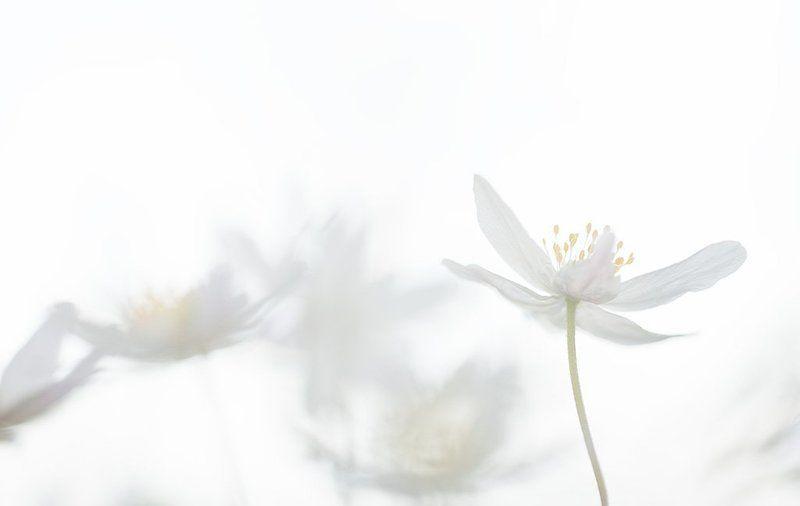 ветреничка, дубравная акварельюphoto preview