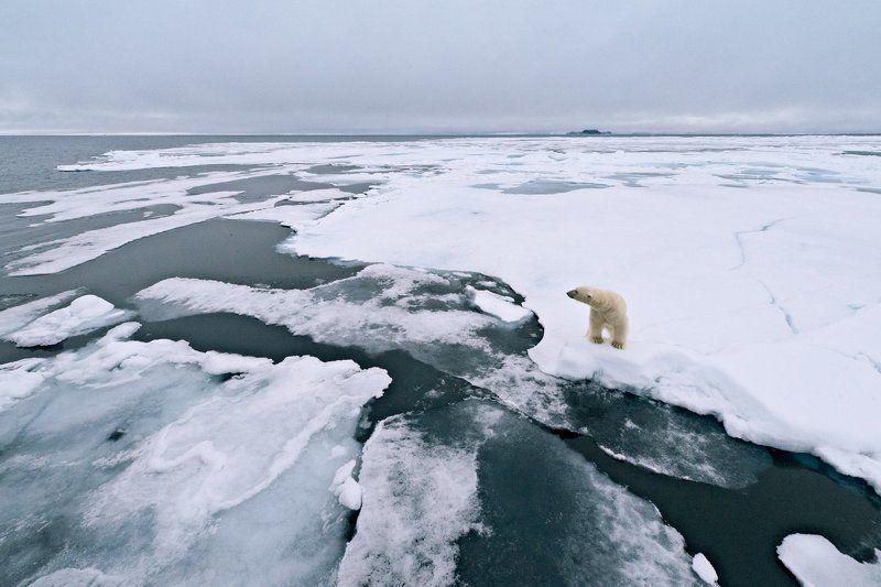 Арrnbrf^ полярный медведь на льдинеphoto preview