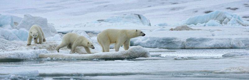 Арктика шпицберген, Дикие животные полярный медведь полярная семейкаphoto preview