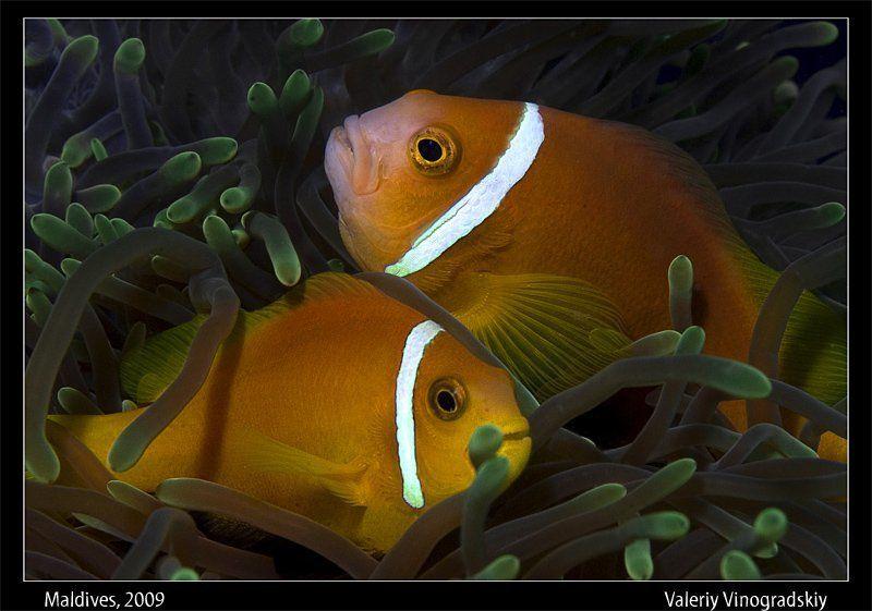 подводное фото, мальдивы, рыба, амфиприон Мы не расстанемсяphoto preview