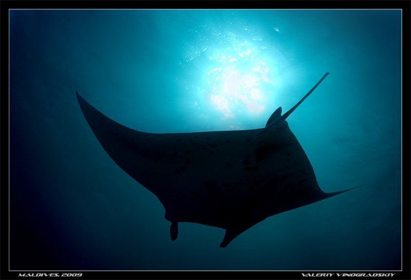манта, подводное фото, океан Парить под солнцемphoto preview