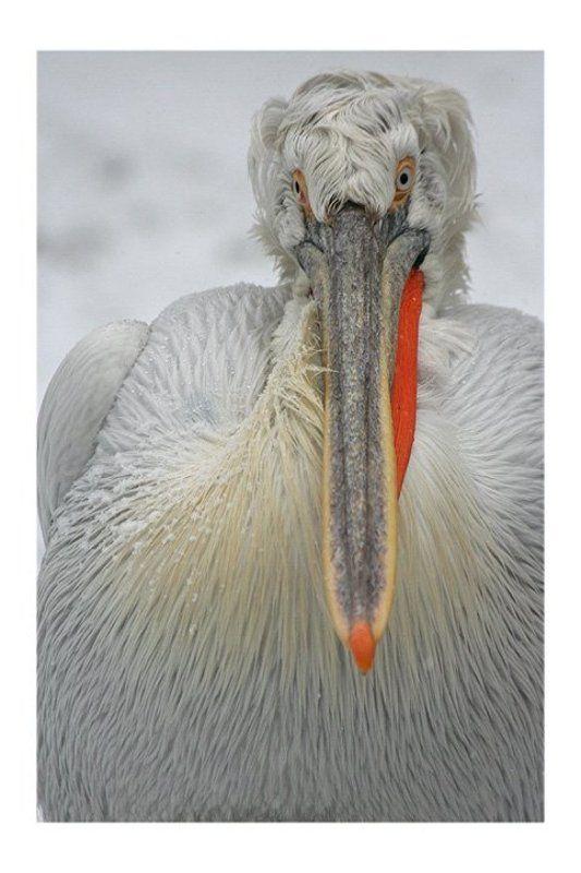 портрет пеликана...photo preview
