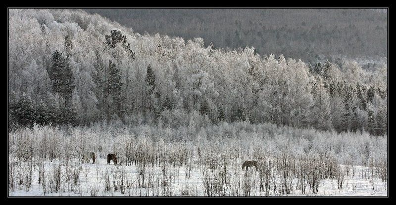 кони, лес,  зима Ходют кони...photo preview