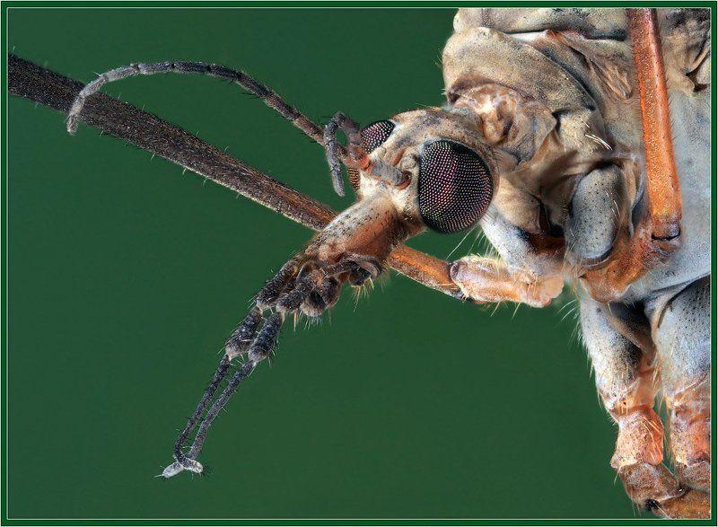 макро,комар Портрет комараphoto preview