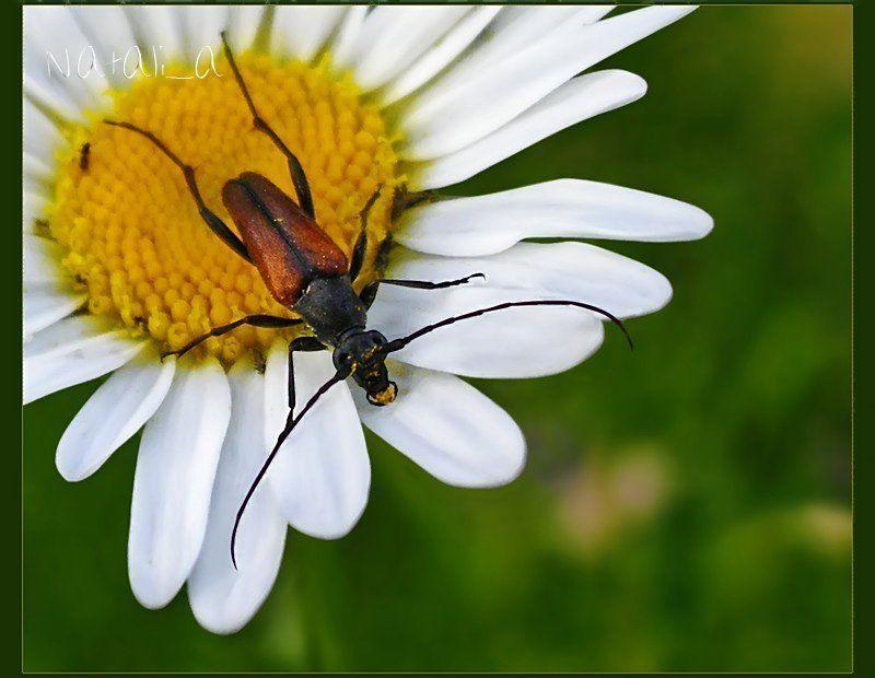 открытка, жук, полевая ромашка Усатый сладкоежка :)photo preview