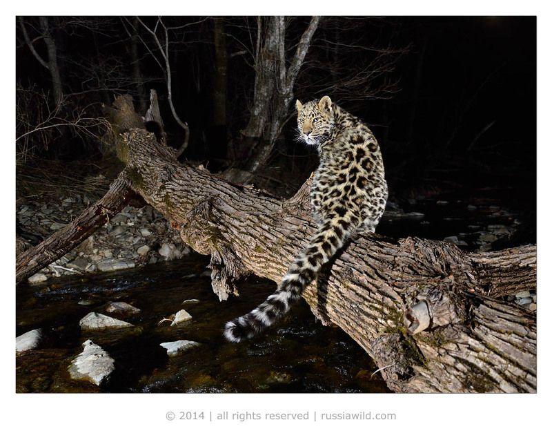 дальневосточный, леопард Котёнок на бревнеphoto preview