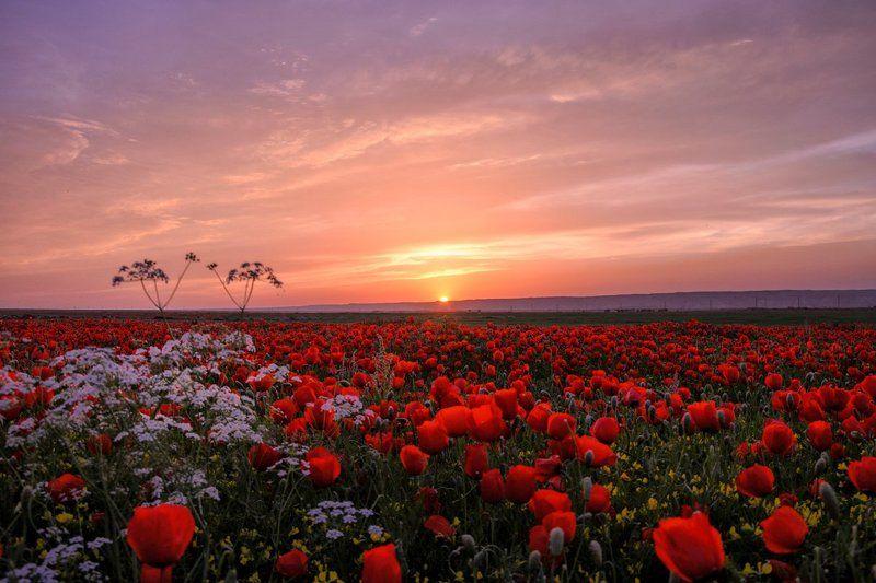 Poppy, Poppy field, Sughd, Tajikistan, Маки, Маковое поле, Согд, Таджикистан Макиphoto preview