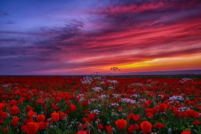Poppies, Poppy field, Sughd, Tajikistan, Маки, Маковое поле, Таджикистан Elysiumphoto preview