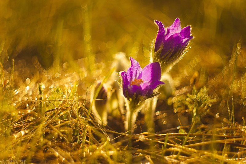Dream grass, flower, dawn, sun,, Прокопьевск Dream grassphoto preview