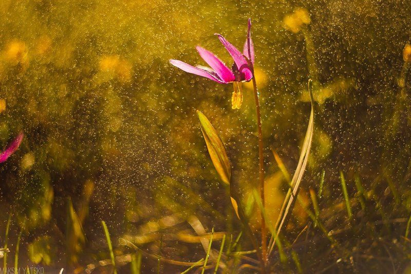 Dew, Erythronium, Side, Spring, Прокопьевск Erythroniumphoto preview