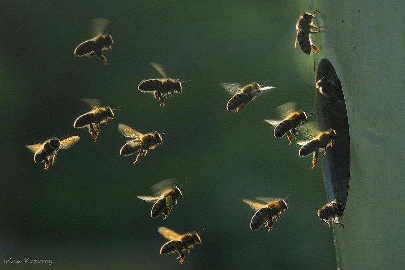 Пчелкиphoto preview